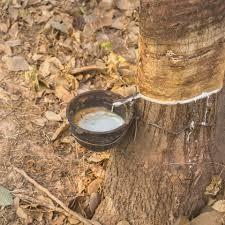 Latex naturel biologique