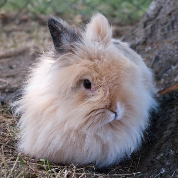 Un lapin angora
